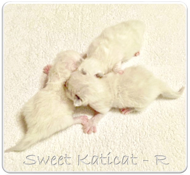 Sweet+Katicat_R