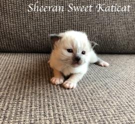 sheeran1